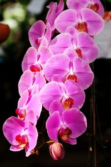 Free Purple Orchid Royalty Free Stock Photo - 6041355