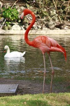 Free Pink Flamingo On Lake Shore Stock Photography - 6041382