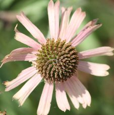 Free Pink Daisy For Success Royalty Free Stock Photography - 6041697