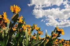 Free Sunflowers And Cloudy Sky Stock Image - 6042611