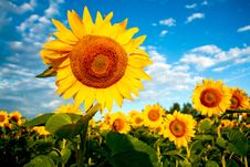Free Bright Sunflowers Stock Images - 6042834