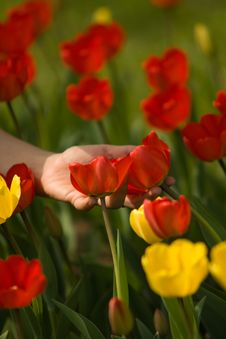 Red And Yellow Tulips Stock Images