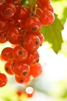 Free Red Currant Stock Images - 6043364