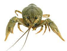 Free Riwer Crayfish Stock Photos - 6044403