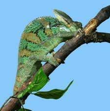 Free Chameleon Stock Photography - 6044542