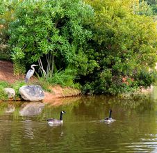 Free Heron And Geese Royalty Free Stock Photos - 6044978