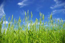 Free Wheat Stock Photo - 6045520