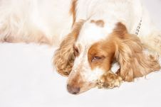 Free Cocker Spaniel Dog Royalty Free Stock Photo - 6045825