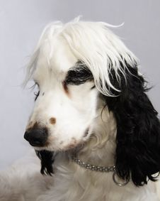 Black And White Cocker Spaniel Royalty Free Stock Images