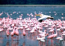 Free Pelican Flight Royalty Free Stock Image - 6045926
