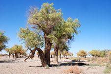 Free Poplar Tree And Blue Sky Stock Image - 6046151
