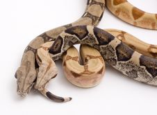 Free Two Boa Constrictors Isolated On White Background Stock Photos - 6046673