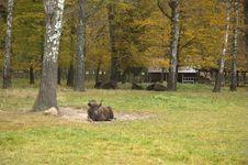 Free European Bison Stock Photography - 6047682