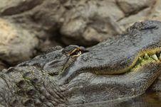 Free Dangerous Reptile Royalty Free Stock Image - 6048586