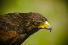Free Immature Bald Eagle Royalty Free Stock Image - 6049336