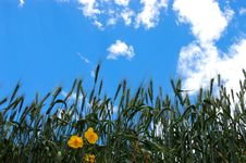 Free Wheat  And Yellow Flowers Under Blue Sky Stock Photo - 6049430