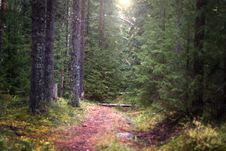 Free The Narrow Path That Goes Deep Into The Spruce Forest Illuminated By The Sun, Selective Focus Stock Photo - 60452350