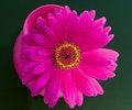 Free Purple Gerbera Royalty Free Stock Photos - 6053148