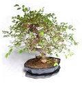 Free Bonsai Plant Stock Images - 6053474