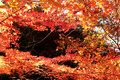 Free Red Maple In Autumn Royalty Free Stock Photography - 6056337