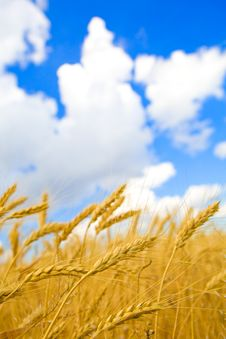Free Background With Golden Wheat And Blue Sky Royalty Free Stock Image - 6050166