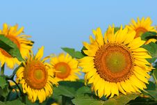 Free Sunflower Stock Photo - 6050850