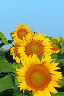 Free Sunflower Stock Photos - 6050923