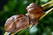 Free Couple Snail Stock Photos - 6051583