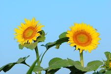 Free Sunflower Stock Image - 6051951