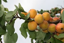 Branch Of Apricot Stock Image