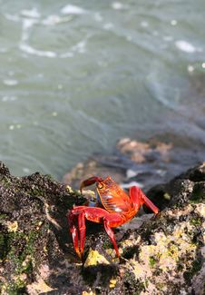 Free Sally Lightfoot Crab Royalty Free Stock Images - 6052379