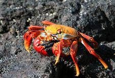 Free Sally Lightfoot Crab Royalty Free Stock Photos - 6052388