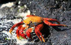 Free Sally Lightfoot Crab Stock Photography - 6052412