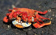 Free Sally Light Foot Crabs Mating Stock Photos - 6052433