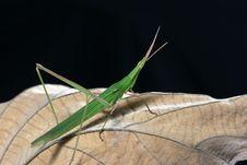 Free Locust Royalty Free Stock Image - 6052526