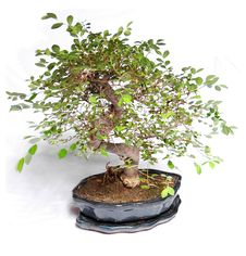 Free Bonsai Plant Stock Images - 6053474