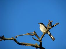 Free Common Fiscal Shrike Stock Photography - 6054212