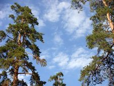 Pines On A Background Of The Sky. Stock Photography
