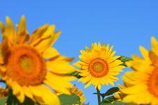 Free Sunflower Stock Photography - 6054292