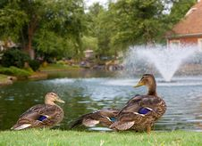 Ducks By Lake Fountain Stock Photos