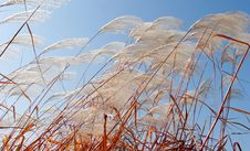 Free Reeds In Wind Royalty Free Stock Photos - 6056308