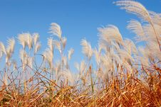 Free Reeds In Wind Royalty Free Stock Photo - 6056315