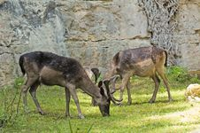 Free Grazing Deers Royalty Free Stock Images - 6057089
