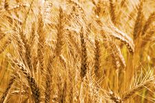 Free Wheat Field Royalty Free Stock Image - 6057626