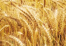 Free Wheat Field Stock Photos - 6057813