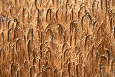 Free Wheat Royalty Free Stock Photography - 6058057