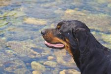 Free Rottweiler Royalty Free Stock Image - 6058156