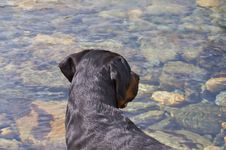 Free Rottweiler Royalty Free Stock Image - 6058166