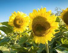Free Sunflowers Stock Photos - 6058723