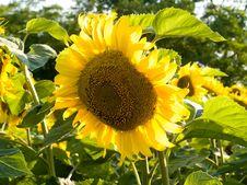 Free Sunflowers Royalty Free Stock Photos - 6058728